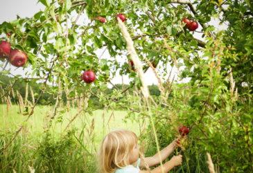 Na jablíčkách